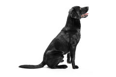 Black Labrador Royalty Free Stock Photography