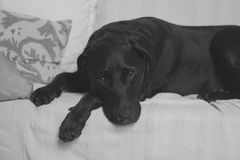 Black Labrador on White Cushion Couch Stock Image