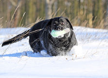A black labrador in winter in snow Stock Photography