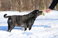 The black labrador in winter in snow Royalty Free Stock Images
