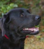 Black labradors head. Close up of a black labradors head Stock Photo