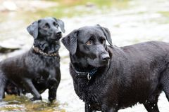Black Labradors playing in the water. Close up of two black Labradors playing in the water Royalty Free Stock Image