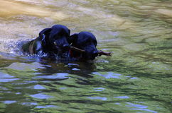 Black labradors playing in a water. Royalty Free Stock Image