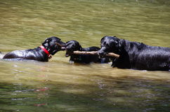 Black labradors playing in a water. Royalty Free Stock Images