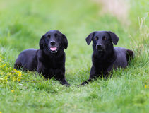 Black labradors. Shot of purebred dogs. Taken outside on a sunny summer day Stock Photography