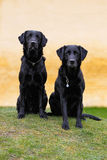 Black labradors. Two purebred black labradors standing up and looking at the camera Stock Photo