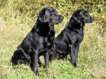 Black Labs royalty free stock photography