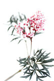 Black lace plant Royalty Free Stock Photo