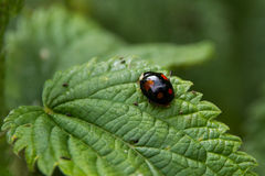 Black ladybug on a leaf Stock Photography