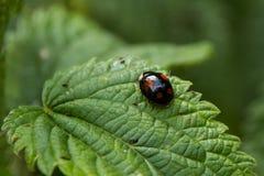 Black ladybug on a leaf Stock Photography