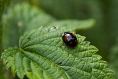 Black ladybug on a leaf Stock Image