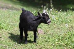 Black lamb Stock Images