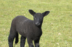 Black lamb. A black lamb in a field in spring Stock Images