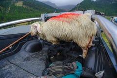 Black lamb Royalty Free Stock Photo