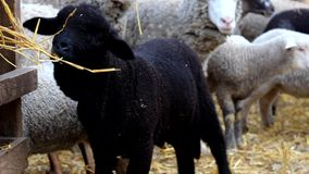 Black lamb eating stock video footage