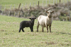 Black Lamb & Ewe Stock Photo