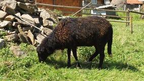 Black lamb stock footage