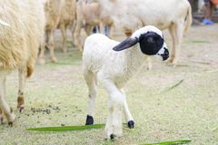 The black lamb has poor eyes. It`s looking for its mother stock photos
