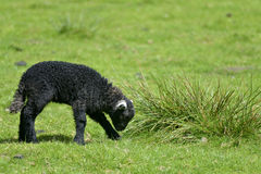 Black lamb by Loughrigg Tarn Stock Photography