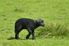 Black lamb by Loughrigg Tarn Royalty Free Stock Photography