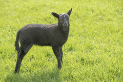 Black lamb in a meadow Royalty Free Stock Image