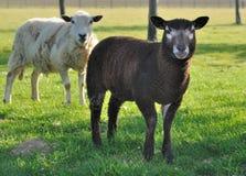Black lamb in meadow Stock Photos