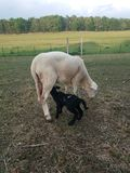 Black lamb nursing on white ewe. Black Dorper Katahdin cross lamb nursing on white Katahdin ewe sheep royalty free stock photo