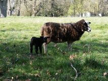 Black lamb and sheep in a field Royalty Free Stock Images