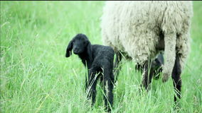 Black lamb and sheep standing in the field