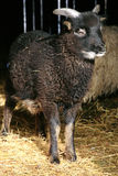 Black lamb standing in the doorway of the barn Royalty Free Stock Photo