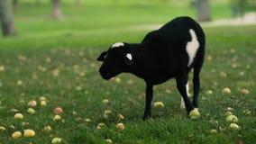 Black lamb under apple tree stock video