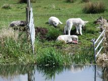 Black Lamb with white lambs. 3 white lambs and 1 black lambs by a stream Royalty Free Stock Photos