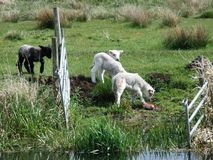 Black Lamb. White lambs by the stream with a black lamb behind them Royalty Free Stock Image