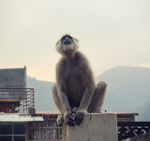 Black langur monkey in Rishikesh. The black Monkey on a background of mountains in Rishikesh Royalty Free Stock Photography