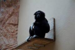 Black lar gibbon sitting on bench looking stock photography