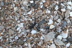 Black mustachioed bug on sea pebbles and shells. Black large baleen beetle crawling on colorful sea pebbles and fragments of shells royalty free stock photo