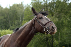 Black latvian breed horse portrait at the countryside Royalty Free Stock Photography
