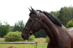 Black latvian breed horse portrait at the countryside Stock Images