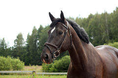 Black latvian breed horse portrait at the countryside Royalty Free Stock Image