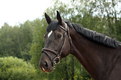 Black latvian breed horse portrait at the countryside Stock Photo