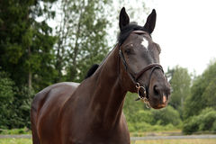 Black latvian breed horse portrait at the countryside Stock Image