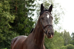 Black latvian breed horse portrait at the countryside Stock Photography