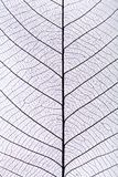 Black leaf vein pattern. A skeleton leaf with black veins and a white light from the back Stock Image