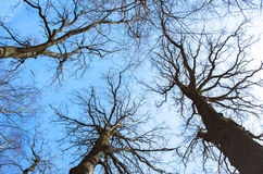 Black leafless trees. Silhouettes over blue sky stock photo