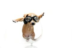 Black Leather Clad Puppy Stock Images