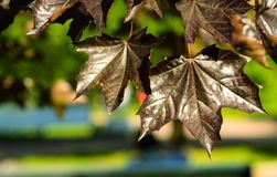 Black leaves maple royalty free stock photos