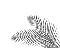 Black leaves of palm tree on white Royalty Free Stock Photos