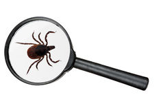 Black legged deer tick as found on cats and dogs Stock Photo
