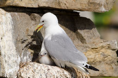 Black-legged kittiwake Royalty Free Stock Photo