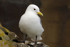 Black-legged kittiwake. Stands in a cliff stock photos